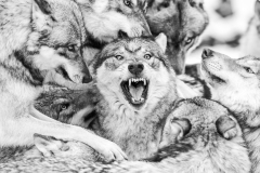 Wölfe (C)